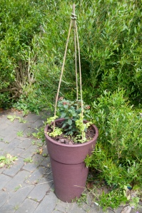 Tall container planted with Fuchsia Koralle and lysimachias